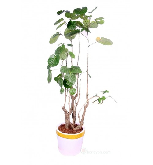 Biscuit Patabahar Indoor Plant With Golden White Planter
