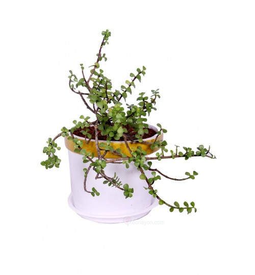 JADE PLANT - LUCKY TREE WITH GOLDEN WHITE PLANTER (CRASSULA)