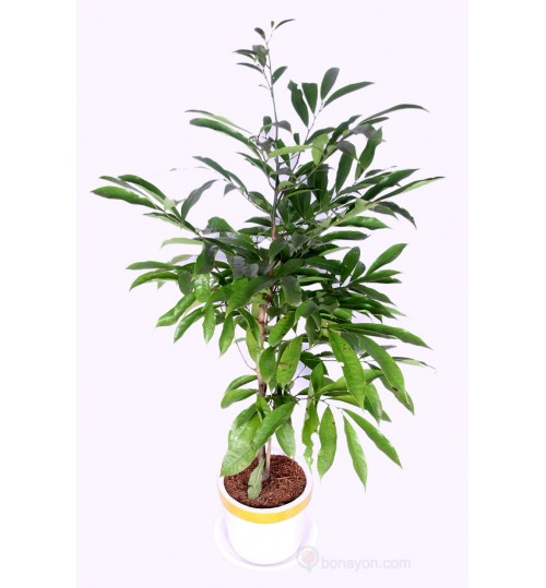LOCAL INDOOR PLANT KATHALICHAPA WITH GOLDEN WHITE PLANTER