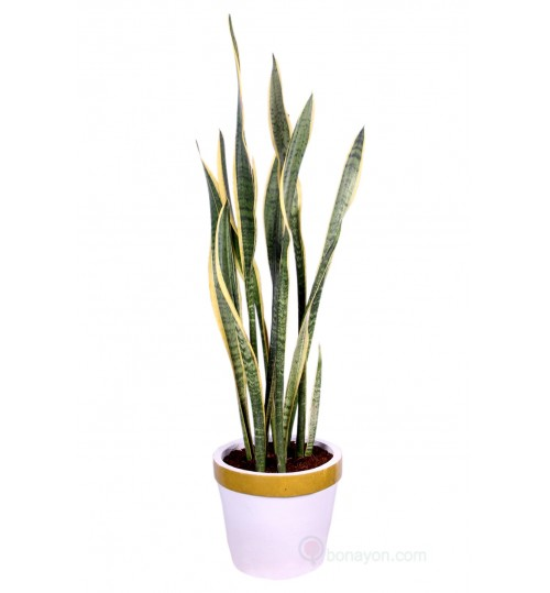 SNAKE PLANT BIG SIZE BUSHY WITH LARGE GOLDEN WHITE POT EXCLUSIVE BEAUTIFUL INDOOR PLANT