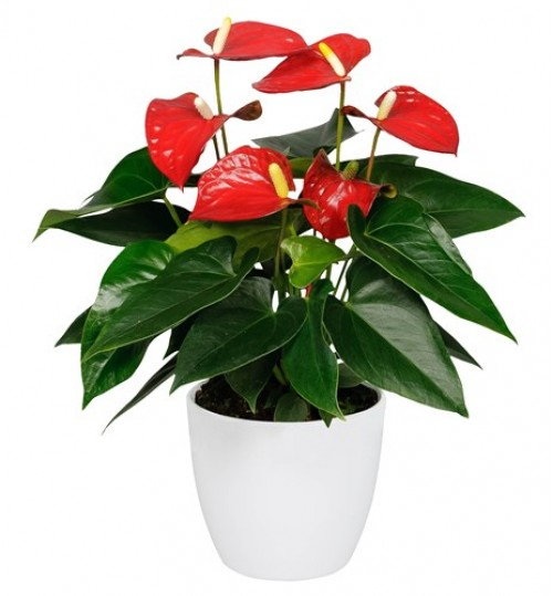 Anthurium Red With Exclusive White Pot