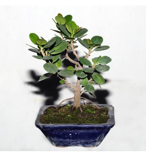 chinese banyan tree bonsai - চীনা বনসাই