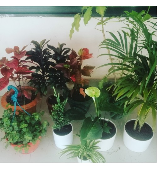 INDOOR PLANTS PACKAGE OFFER 8 PLANTS AT BEST PRICE 2020 (WITH CERAMIC & TERACOTTA PLANTER) AIR PURIFER & EXCLUSIVE FOR HOME, OFFICE & BALCONY DECOR