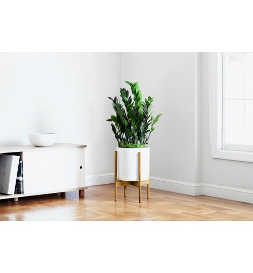 ZZ Plant - With Wooden Stand Best Looking & Easy Manage Indoor Decoration With White Ceramic Planter