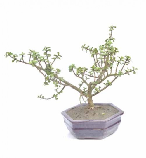 Bonsai - Item Code 6102