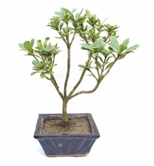 Bonsai - item code 6103