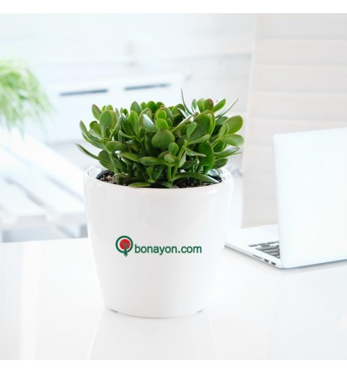 Bonayon Office Package - With Logo/Branding Ceramic Planter & Room Corner Plants