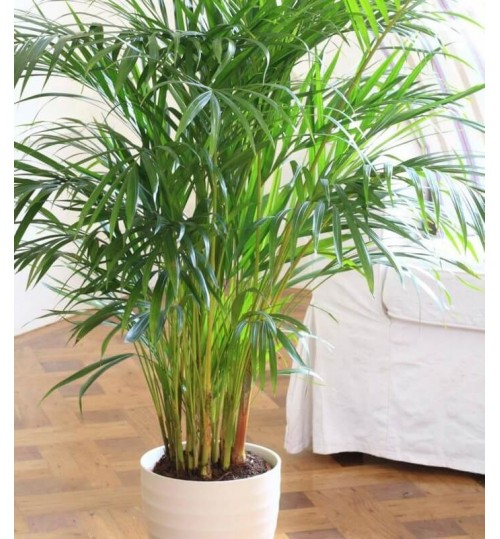 Areca Palm - Home Plant - Indoor Exclusive Tree with White Ceramic or Terracotta Pot