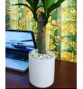 Corn Plant - Dracaena Fragrans - Rick - White Ceramic Planter - Stone - Desk - Indoor Plant