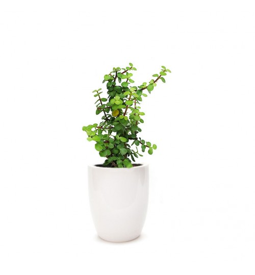 Jade Plant - Lucky Plant - Crassula with White Ceramic Planter
