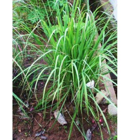 Lemon Grass - Thai Leave  - গন্ধবেণা - থাই পাতা