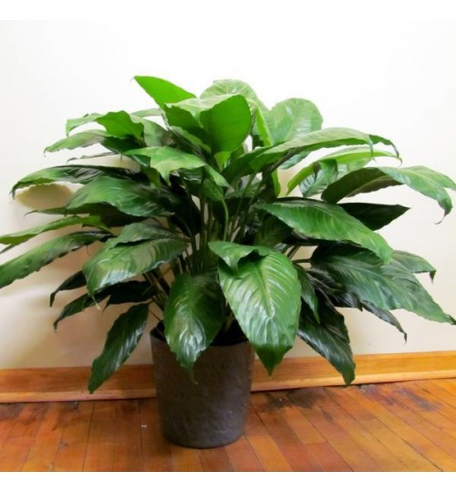 Peace Lily with Exclusive Ceramic Pot