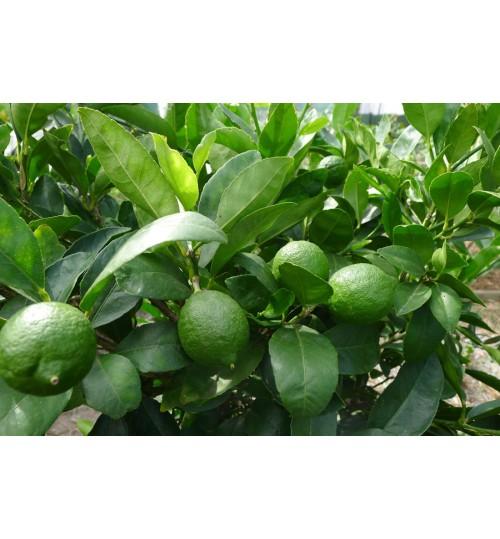 Lemon - লেবু বারোমাসি - ড্রাম সহ মাত্র 1900 টাকা