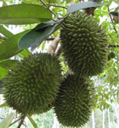 Malaysian Durian Tree - মালয়েশিয়ার ডুরিয়ান বৃক্ষ