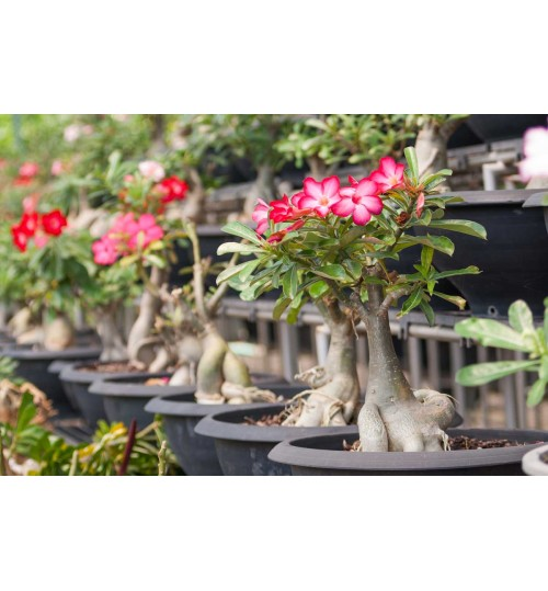 Adenium - with flower and pot