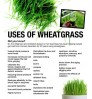 Wheatgrass - Cocodust - germination equipment - Seed Microgreen Smoothie