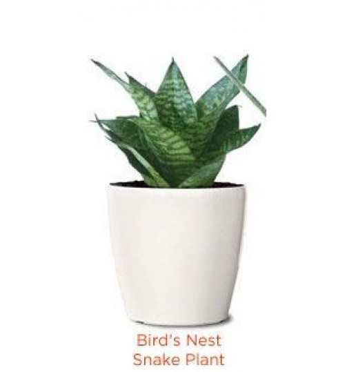 Buy online Bonsai, Tree, Seed, Gardening Accessories