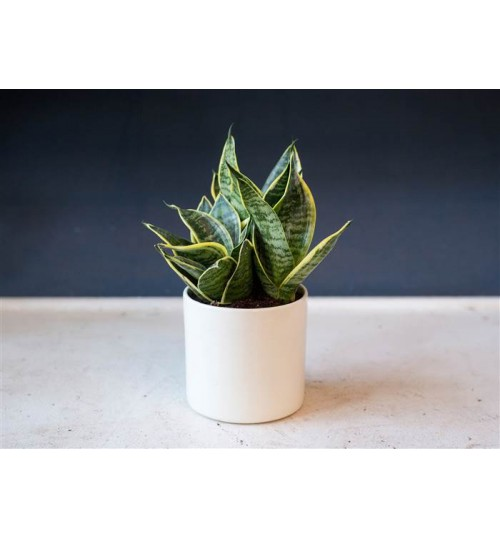 Bird Nest Snake Plant - Exclusive Indoor Desk Plant - Good Luck Plant 'Golden Hahnii'