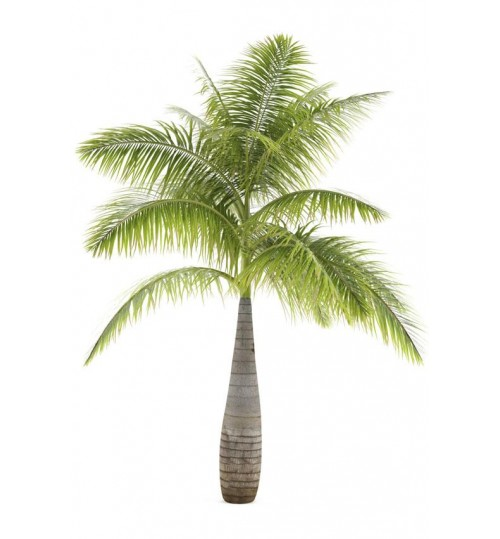Bottle Palm - Beautiful Indoor & Outdoor plant