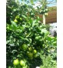 Rooftop Fruit Package - MID (10 Healthy Fruit Plants + Drum + Soil) + Free Gardener + Free Shipping