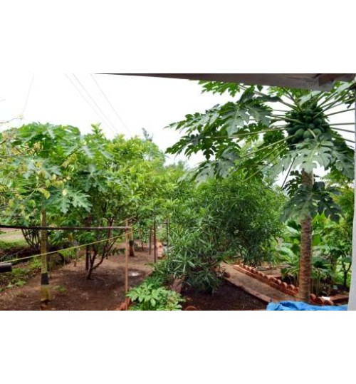 Rooftop Fruit Package - STARTER (5 Healthy Fruit Plants + Drum + Soil) + Free Gardener + Free Shipping