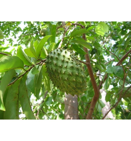 Soursop - Graviola - Cancer killer Fruit Tree (regular size plant only)