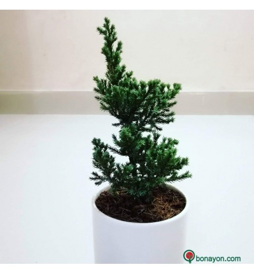 CHRISTMAS TREE BONSAI - Mondir Jhao With White Ceramic Planter Indoor Desk Gift Branding & Corporate
