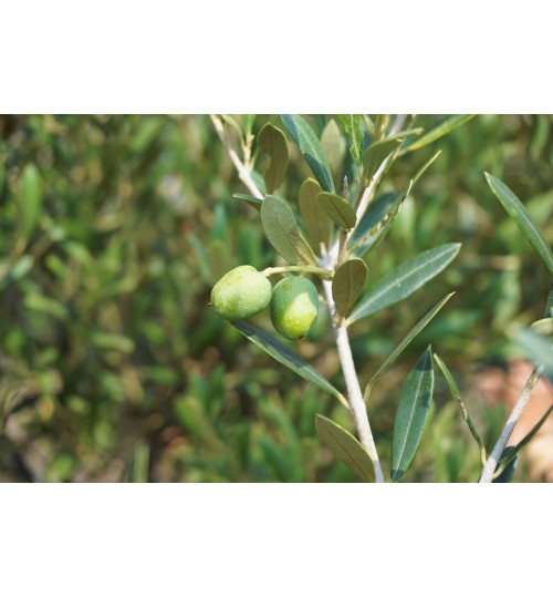 Olive Tree - Grafting Plant - জয়তুন কলম চারা