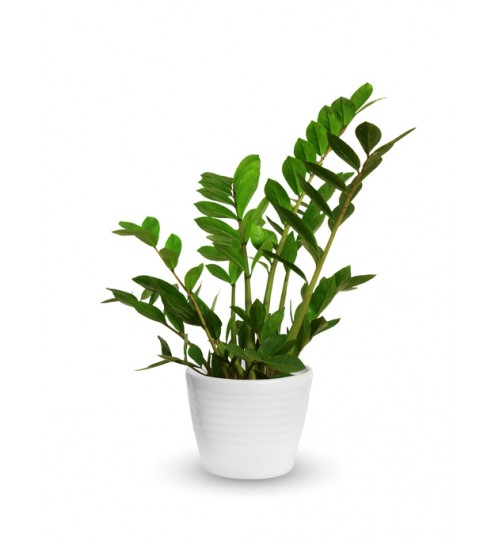 ZZ Plant - Best Looking & Ever Lasting Indoor & Desk Decor Organism with Ceramic or Glass Planter