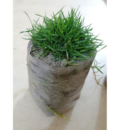 Natural Carpet Lawn Grass for Landscaping & Rooftop Gardening