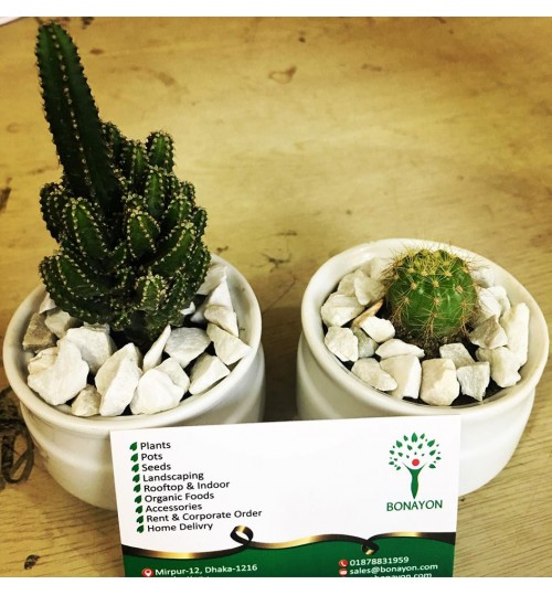Tiny Cactus - Best for gift, corporate order and desk decoration - Pair (2 pcs) price only 350 TK