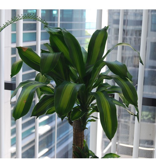Dracaena - Indoor Plant With Bamboo Planter