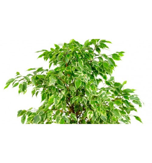FICUS - Indoor Plant Planter