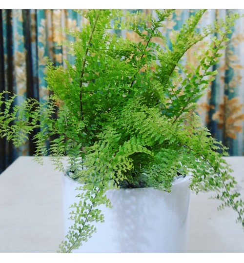 Royal Fern (with white ceramic pot)