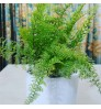COMBO OFFER - ROYAL FERN & GOLD MOSS