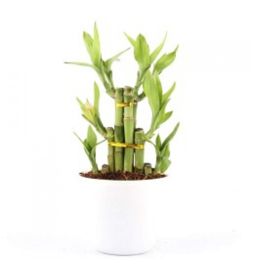 Feng Shui Lucky Bamboo Any Stalks With Ceramic Planter