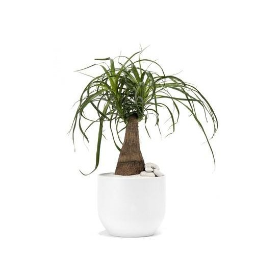 Ponytail Palm Tree with Planter (Nolina)