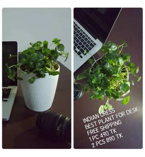 INDIAN CRESS WITH EXCLUSIVE CERAMIC POT - BEST ITEM FOR DESK & GIFT