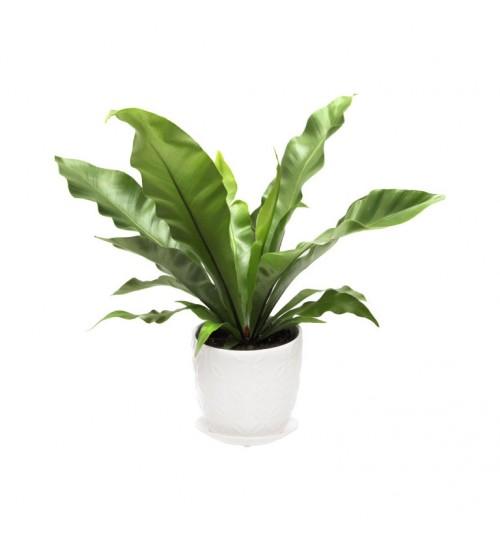 Bird Nest Fern Special Indoor Plant With White Pot