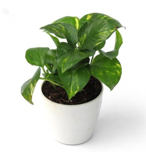 Money Plant With Exclusive Desk Ceramic Pot