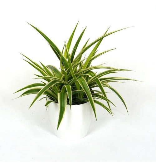 Spider Plant - With White Ceramic Pot - Special Indoor Plant