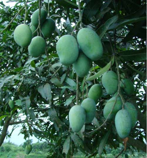 Mattress Tota mango - মেটর‌্যাস তোতা বাংলা