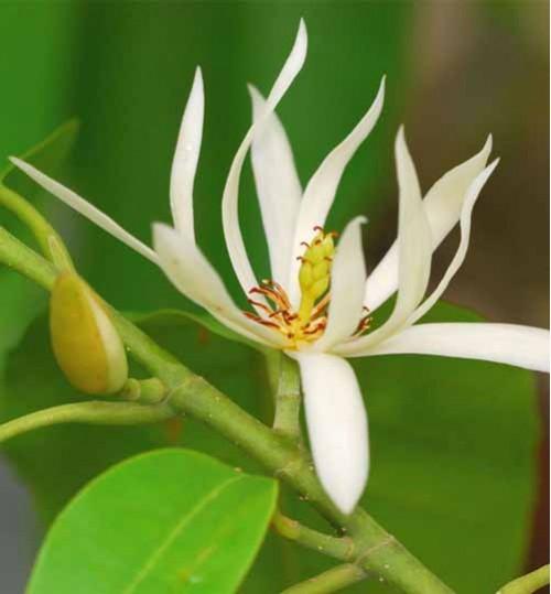 Michelia - স্বর্ণচাপা
