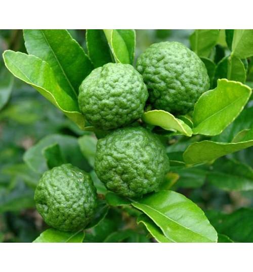 kaffir Lime - সাতকরা
