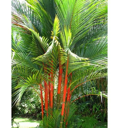 Red palm - রেড় পাম Original 5-6 feet