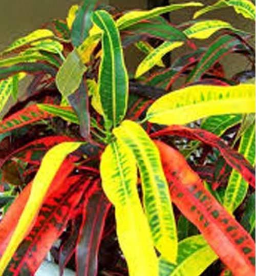 codiaeum-variegatum-carnival - কারনির্ভাল পাতাবাহার