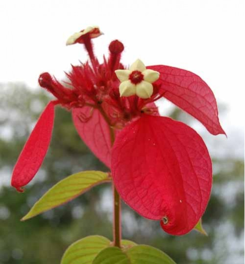 Mussaenda red - মুসান্ডা লাল