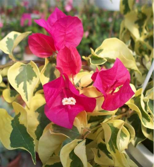 bougainvillea doctor roy -  বাগান বিলাস ডক্টর রয়