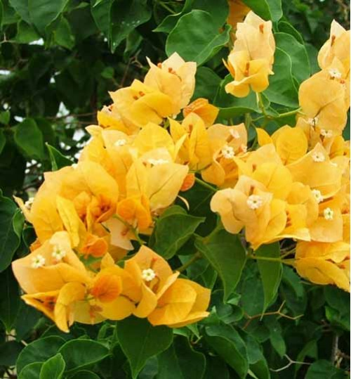 Bougainvillea yellow - বাগান বিলাস হলুদ