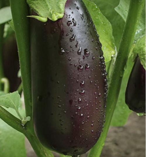 Eggplant (বেগুন)